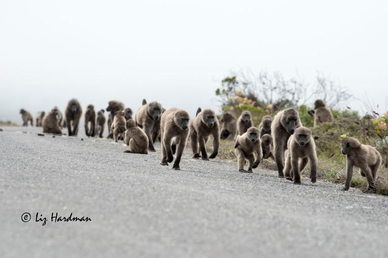 Chacma baboons_02