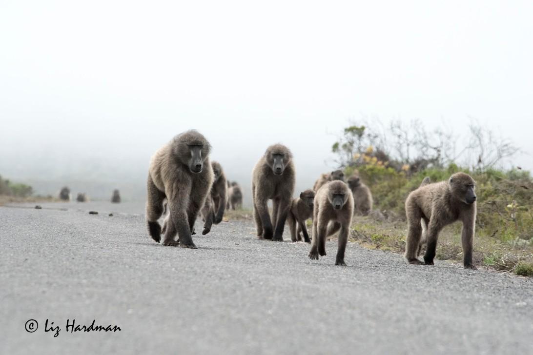 Chacma baboons_03