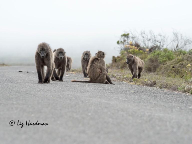 Chacma baboons_04