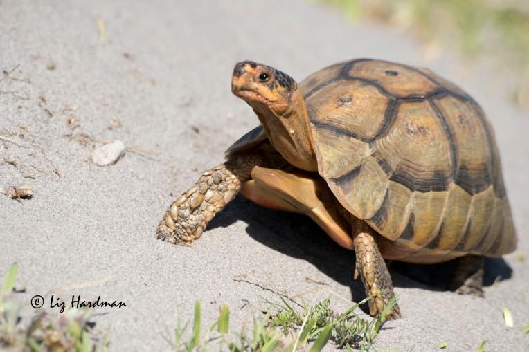 Angulate tortoise on the beat.