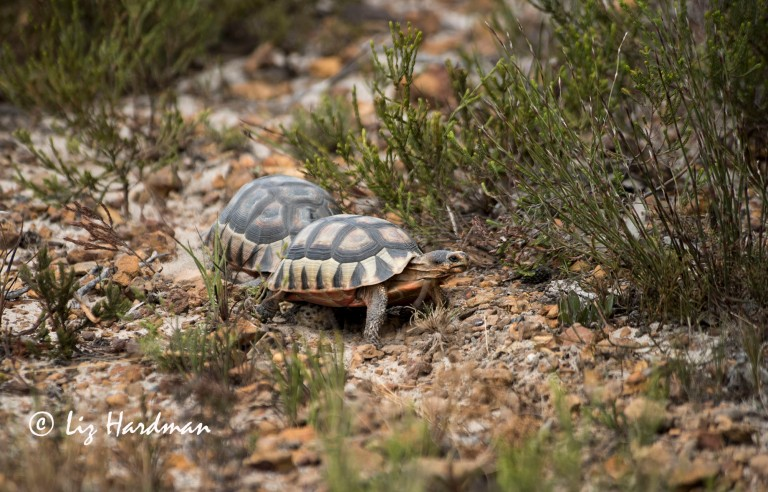 Angulate tortoise_The chase is on