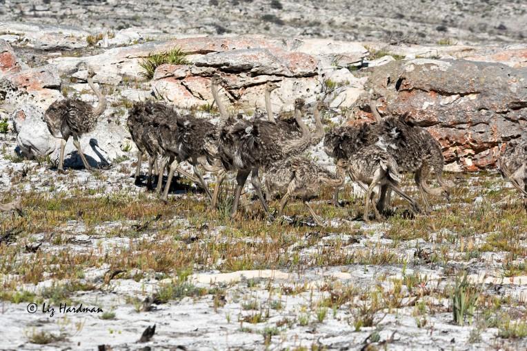 Ostrich chicks_01