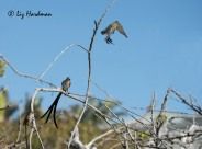 Cape Sugarbirds_03