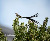 Cape Sugarbirds_01
