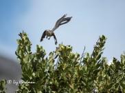Cape Sugarbirds_02