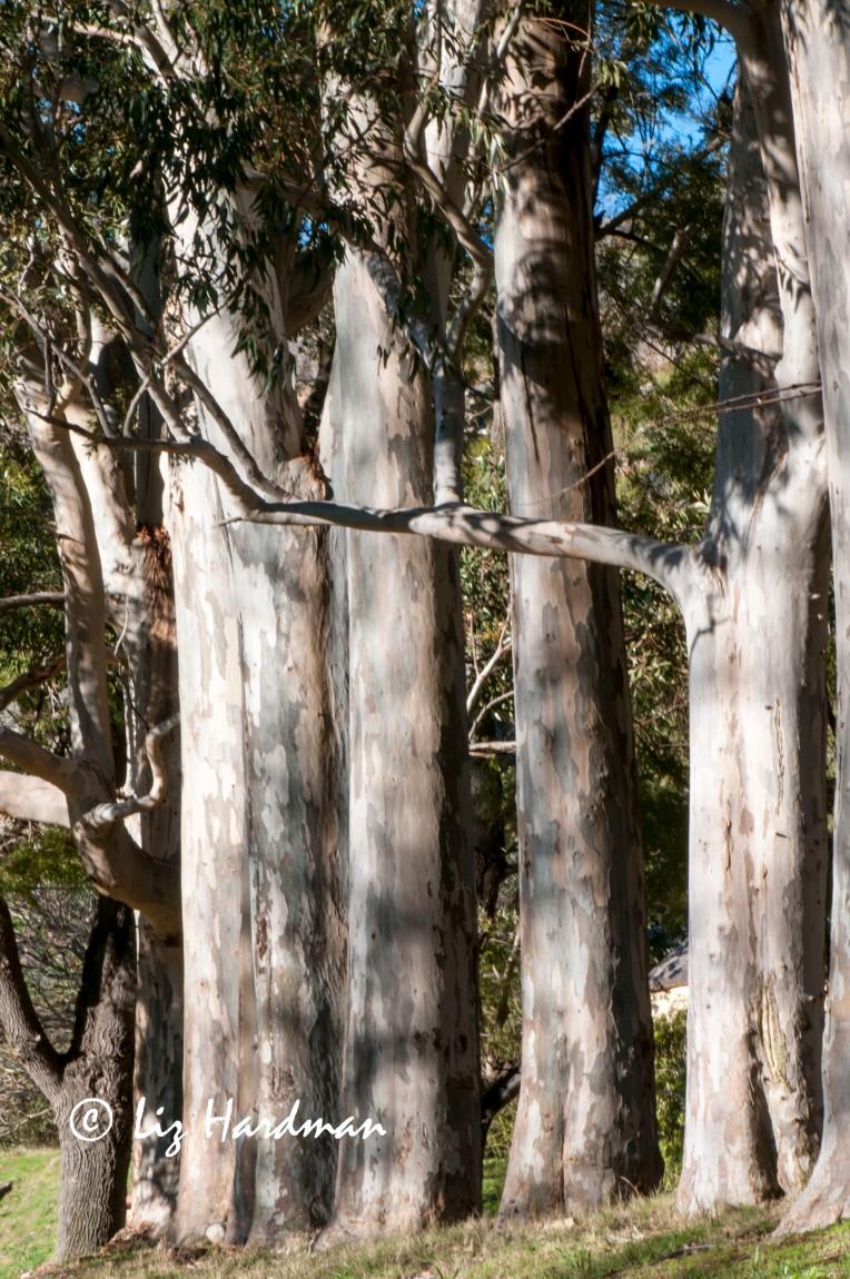 Blue gum trees