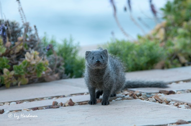 Cape grey mongoose