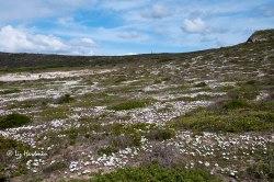 Osteospermum-fruticosa_Rankbietou