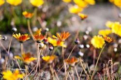 Namaqualand-daisies