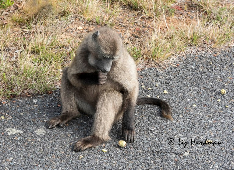Chacma-baboon-cheek-pouches