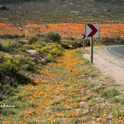 Wildflowers-Kamieskroon
