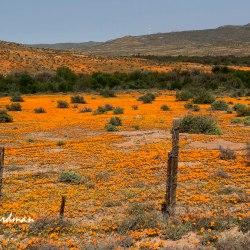Namaqualand-flowers