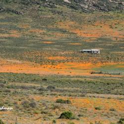 Namaqualand-wildflowers