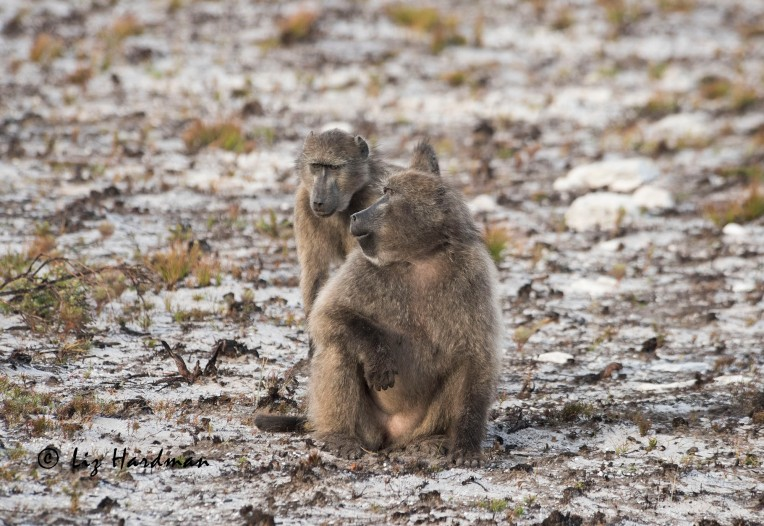 Baboon_courtesy-greeting