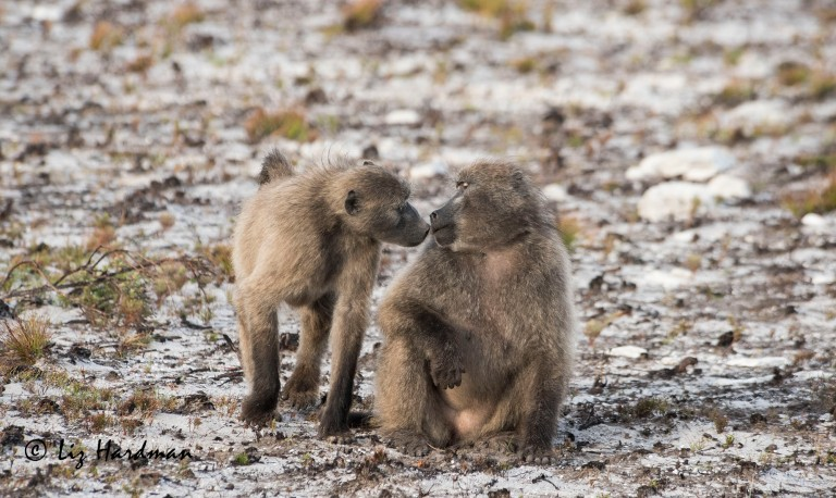 Baboons-courtesy-greeting