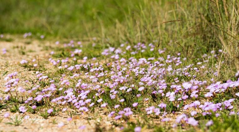 Oxalis_monophylla