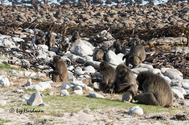 Chacma_baboons_foraging_at_the_beach