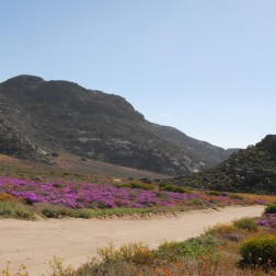 Namaqualand-wildflowers