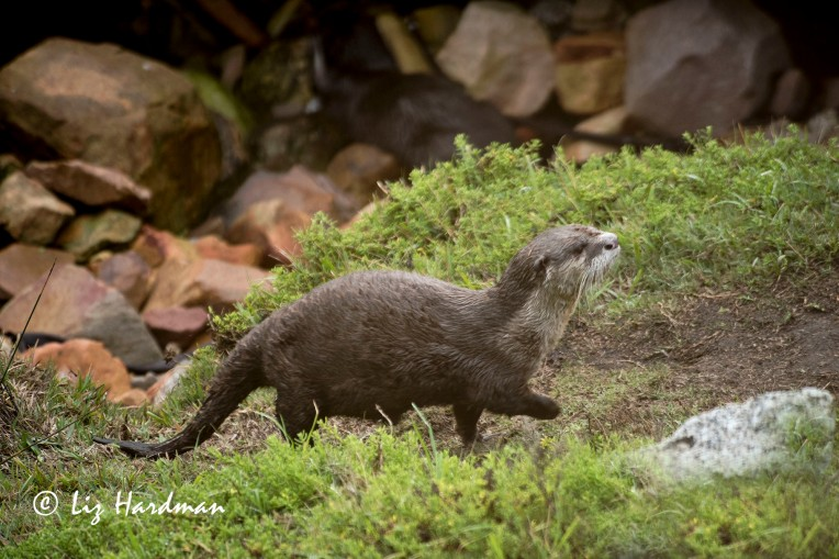Cape-clawless-otter