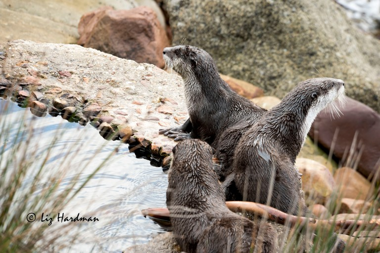 Cape-clawless-otters