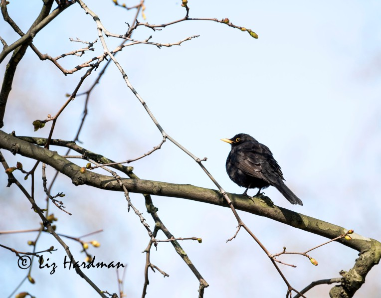 Blackbird_looking up
