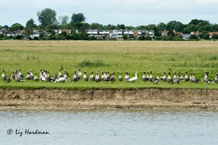 Greylag geese_01