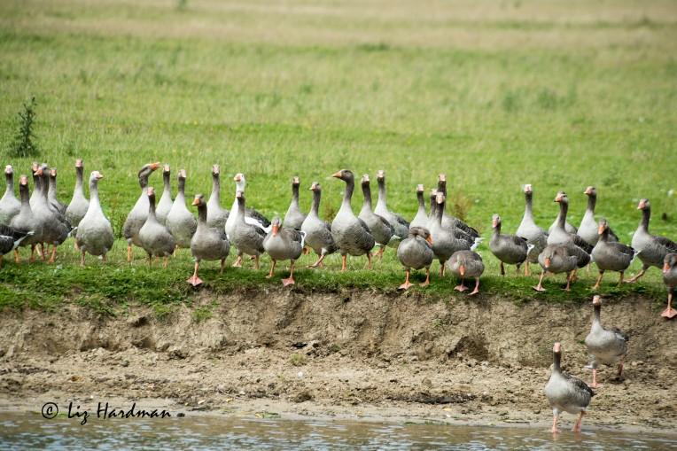 Greylag_geese_02