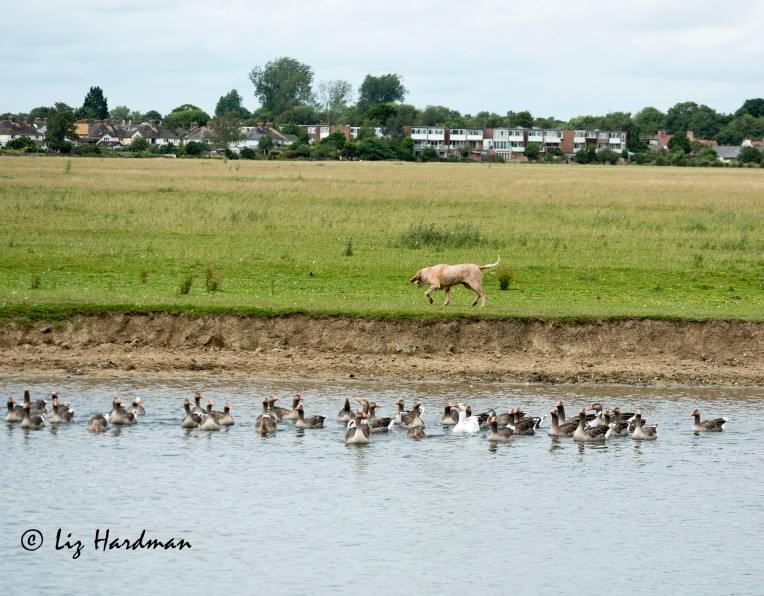 Greylag geese_03