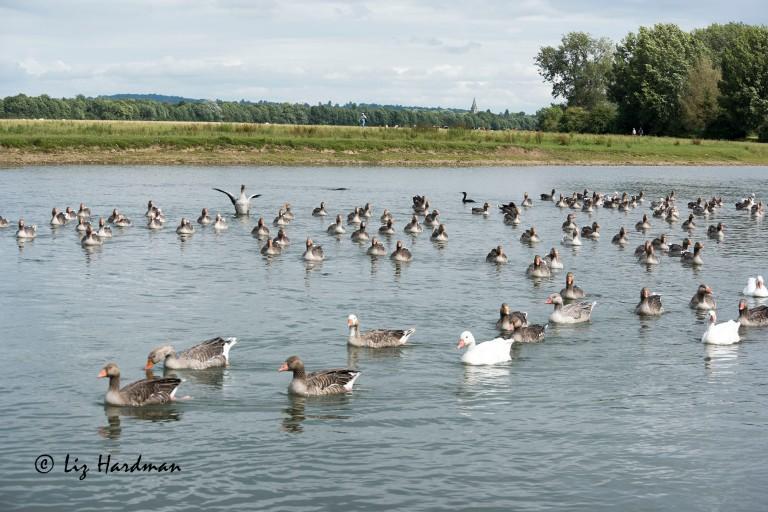 Greylag_geese_mixed_04