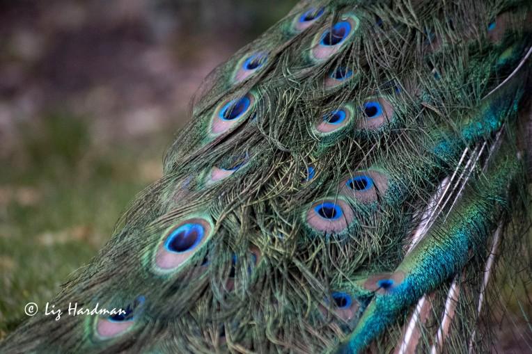 Peacock_close-up-01