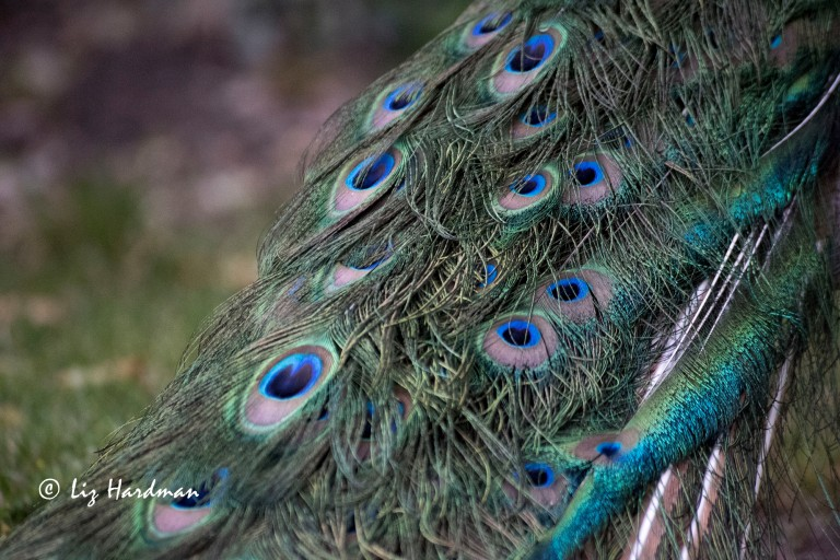 Peacock_close-up-01