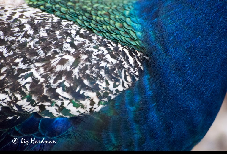 Peacock_close-up_02
