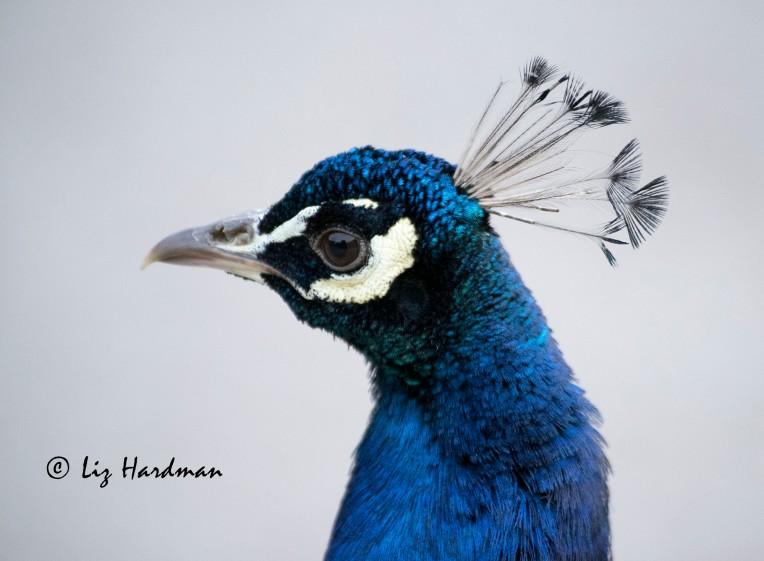 Peacock_close-up_03