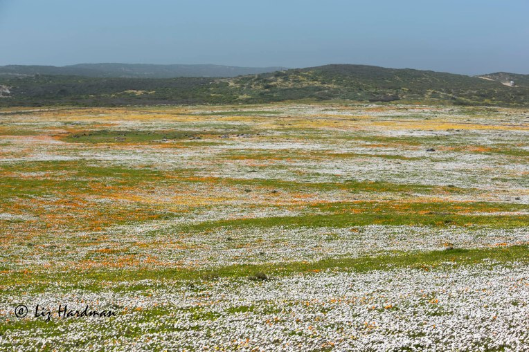 Spring-daisies-West-Coast-National-Park_01