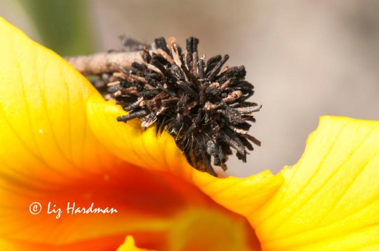 Bagworm_Psychidae_on Moraea_ochroleuca