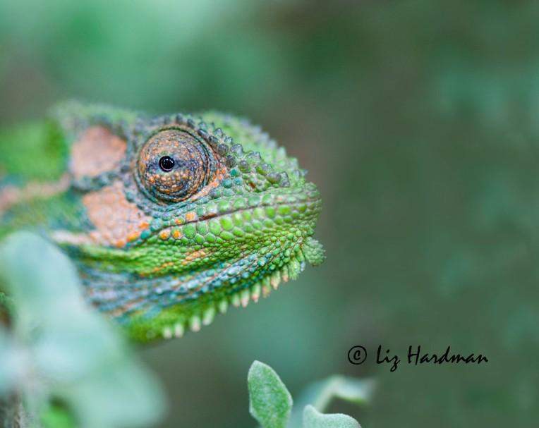 Cape_dwarf_chameleon_Bradypodian_pumilum