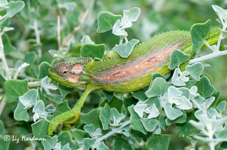 Cape_dwarf_chameleon_Bradypodian_pumilum_02