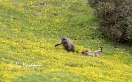 Chacma_baboons_spring_daisies_01