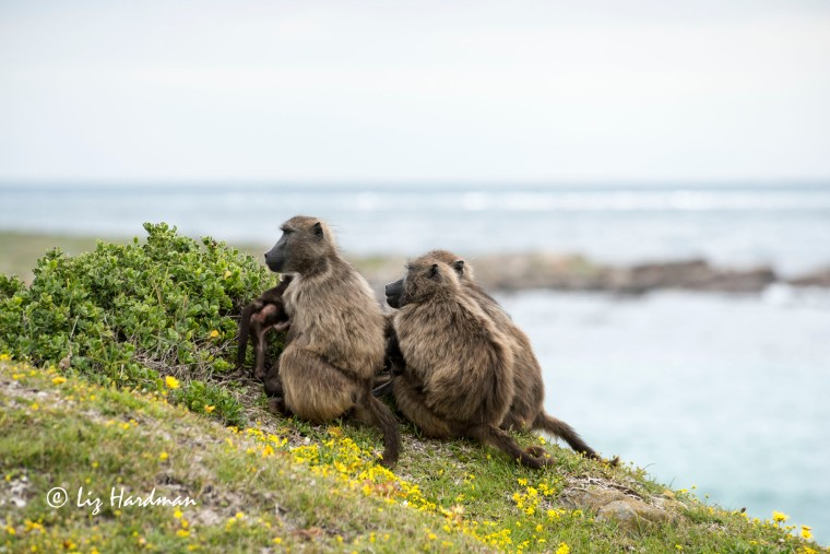 Chacma_baboons_spring_daisies_02