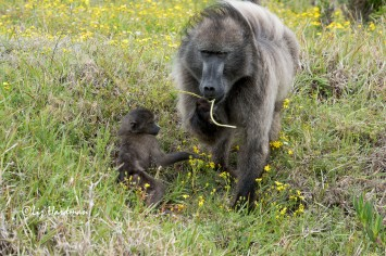 Chacma_baboons_adult_male__junior