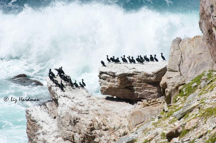 Cormorants_Cape_Point