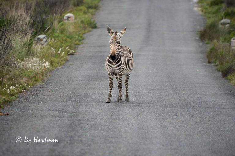 Cape_Mountain_Zebra_stallion
