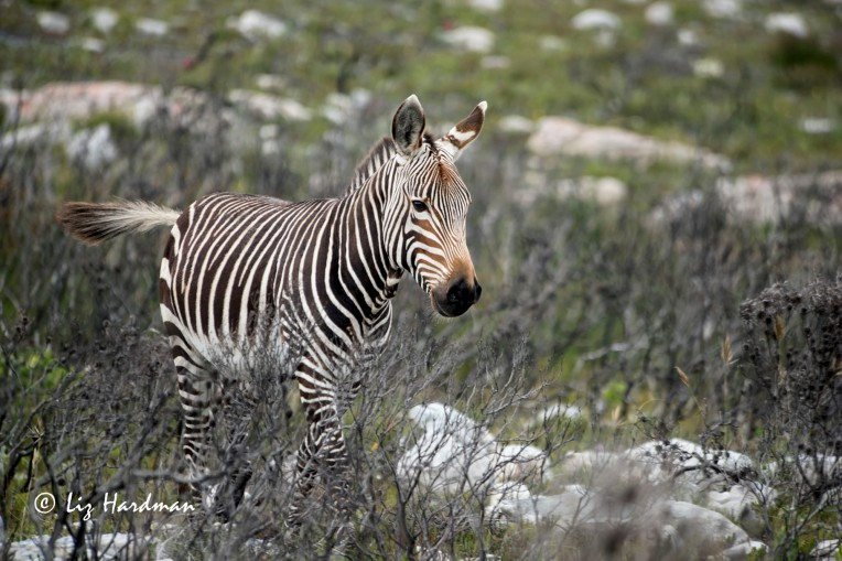 Cape_mountain_zebra_at_CapePoint