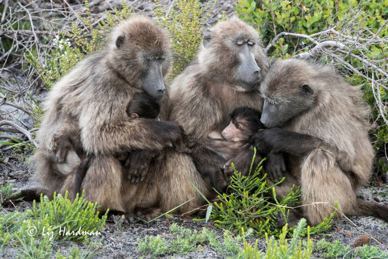 Chacma_baoons_mothers_and babies