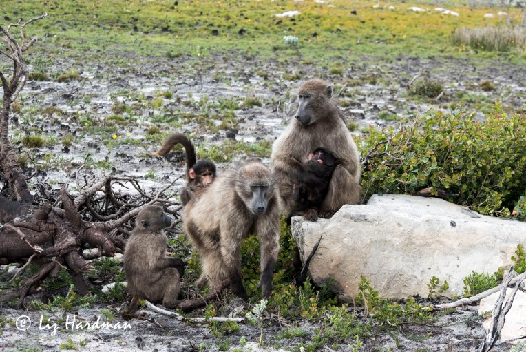 Chacma_baboons_mothers_with babies
