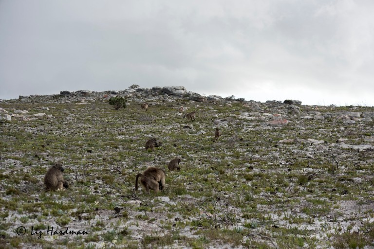 Chacma_baboons_digging_for_bulbs