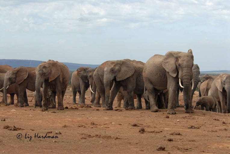 Elephant_Addo_National_Park