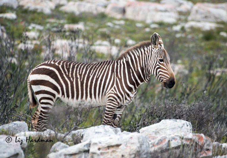 Cape_Mountain_zebra_female