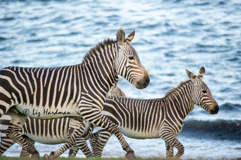 Cape_mountain_zebra_stallion_and_foal