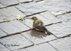 Malachite_sunbird_bathing_01